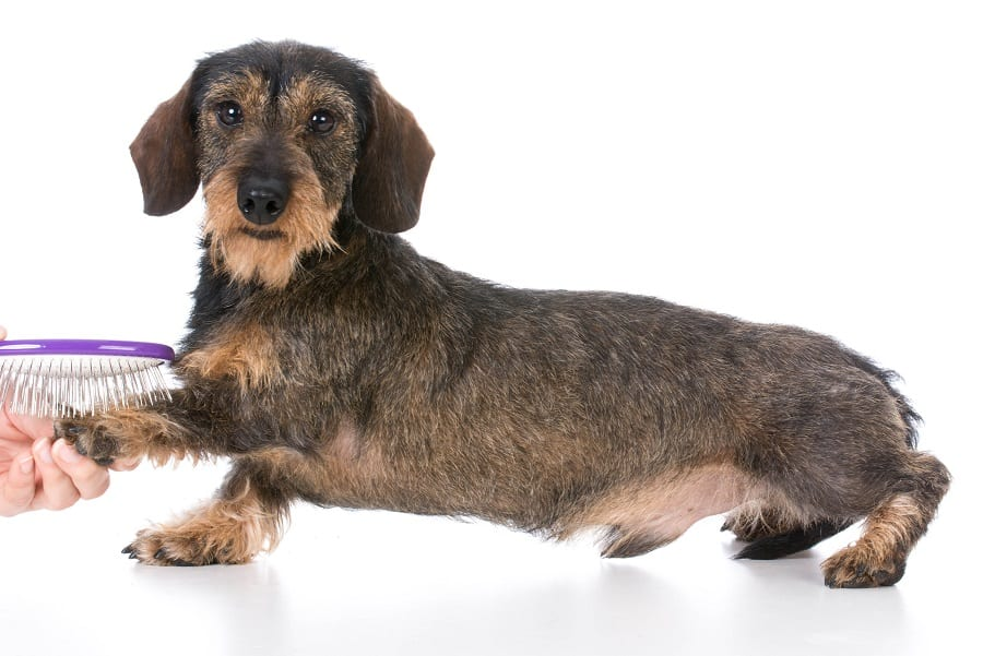miniature wirehaired dachshund dog getting brushed