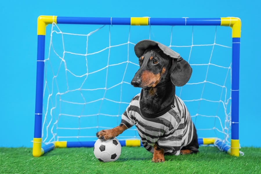 black and tan dachshund wearing striped T-shirt, shorts and cap stands at the goal like a football goalkeeper put his paw on the ball.