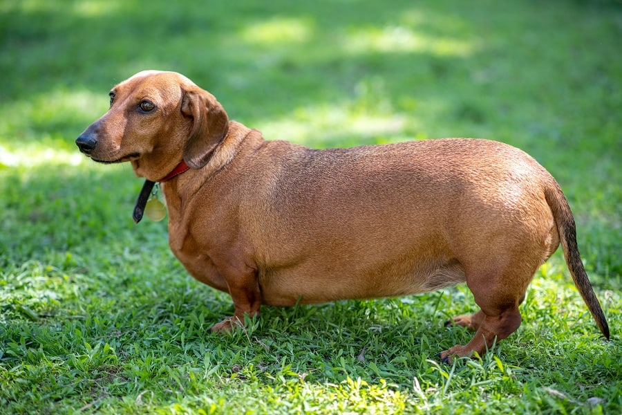 Fat short-haired dachshund standing on the grass
