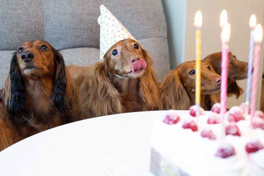 dachshunds celebrating birthday
