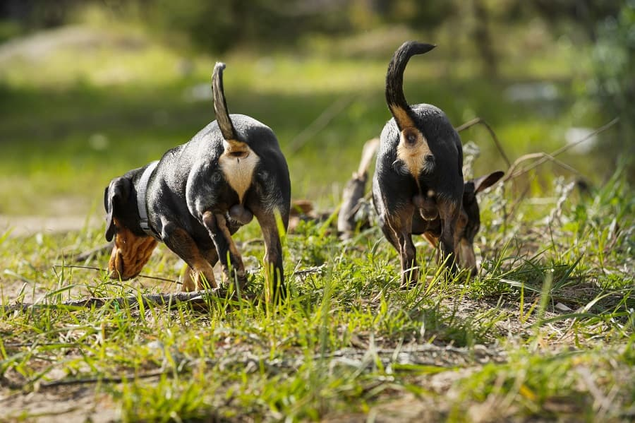 two dachshunds running along the river Bank