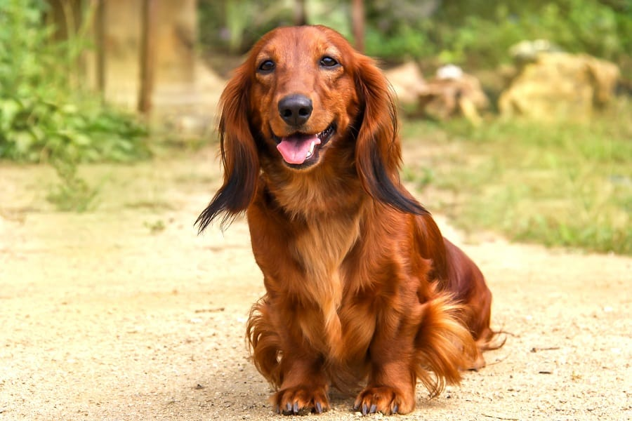 Portrait of a long-haired Dachshund in the open air laughing