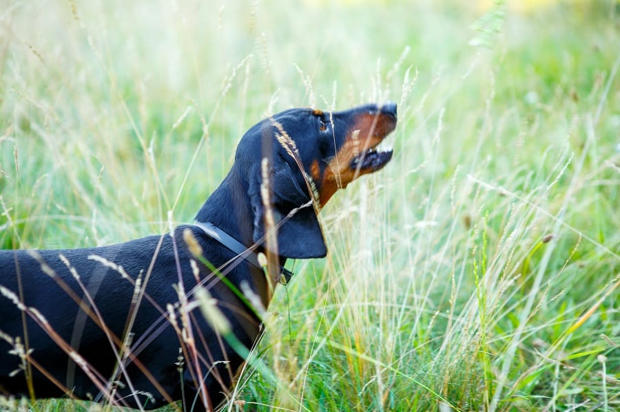 Black smooth-haired dachshund howls among green grass