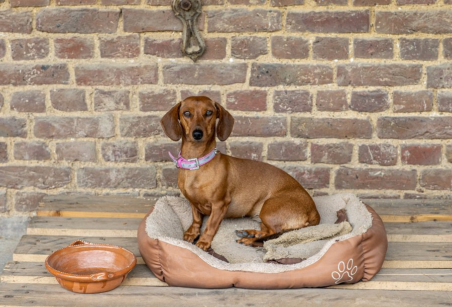 Dachshund sitting on weathered burrowing bed