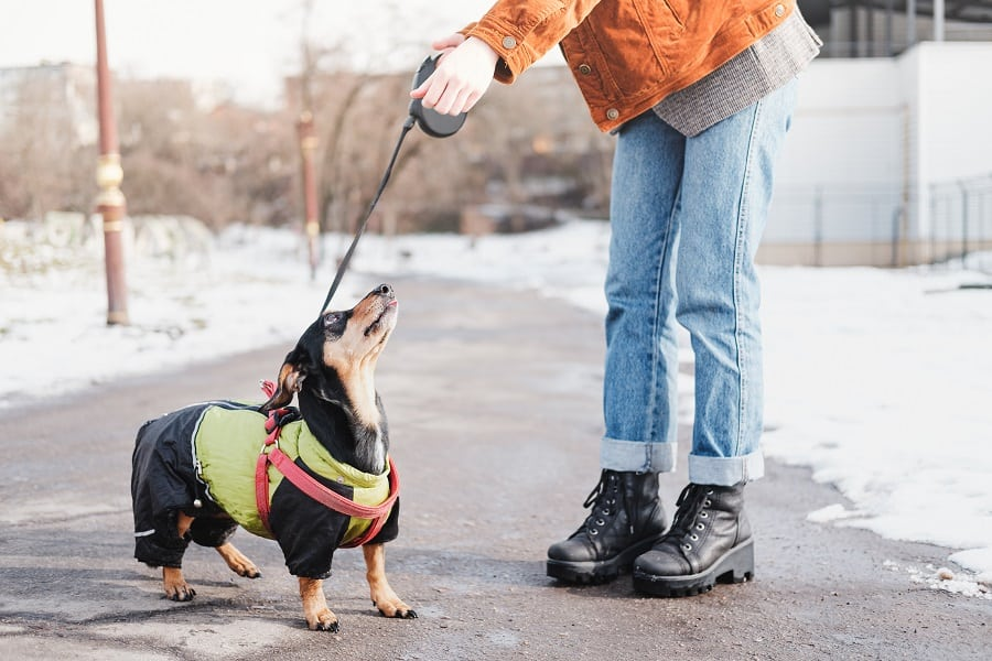 owner communicating with a dachshund on a walk