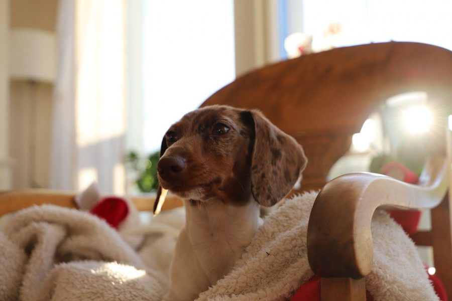 dachshund on blanket