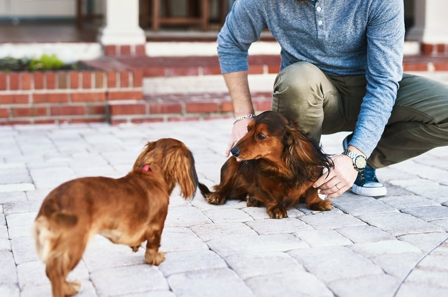 making dachshunds socialize with each other