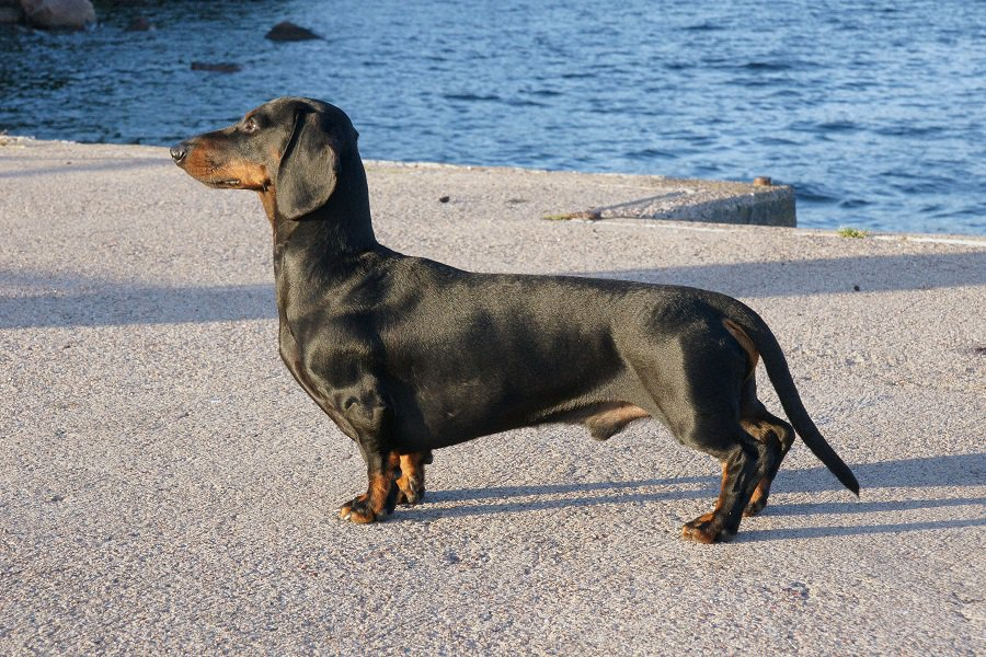 Black and tan purebred dachshund standing at navy pier