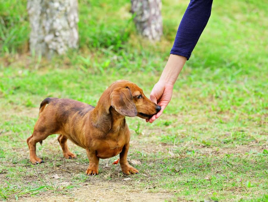 reason why dachshunds are loyal to one person