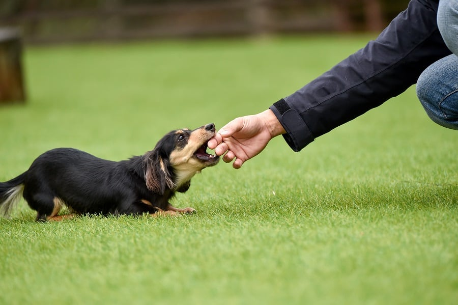 smart miniature dachshund interacting with owner