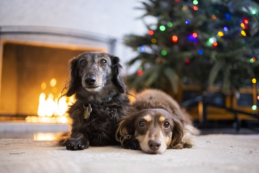 Long Haired Dachshunds Tired and Lying on Floor