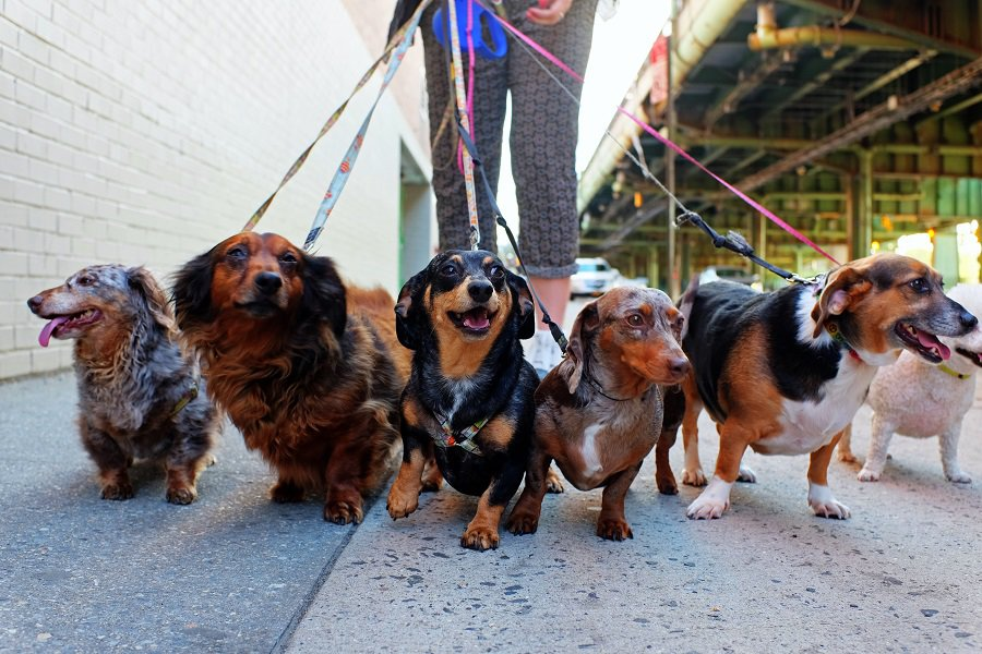 tips to make dachsunds less jealous of other dogs